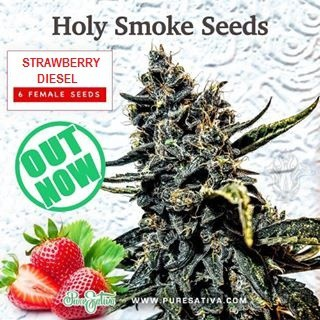 Strawberry Diesel | Holy Smoke Seeds - The Bobby Greenhash Foundation