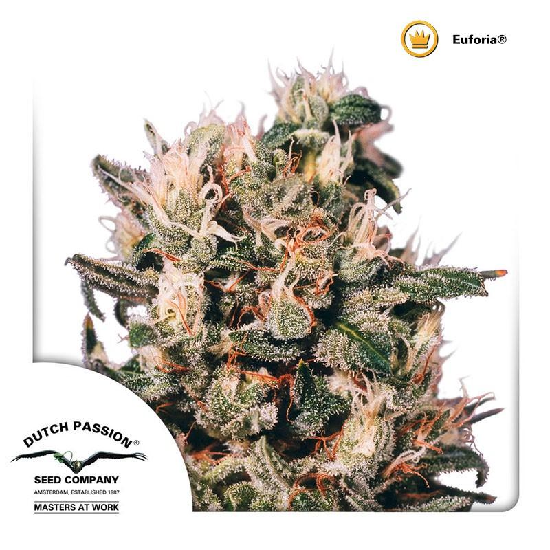 Euforia | Dutch Passion - Cannabis Genetics