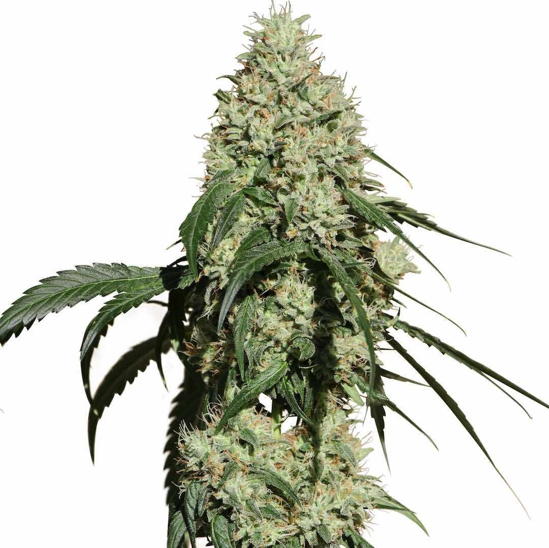 Nagual (NG-1) | MM Genetics - CannaMart