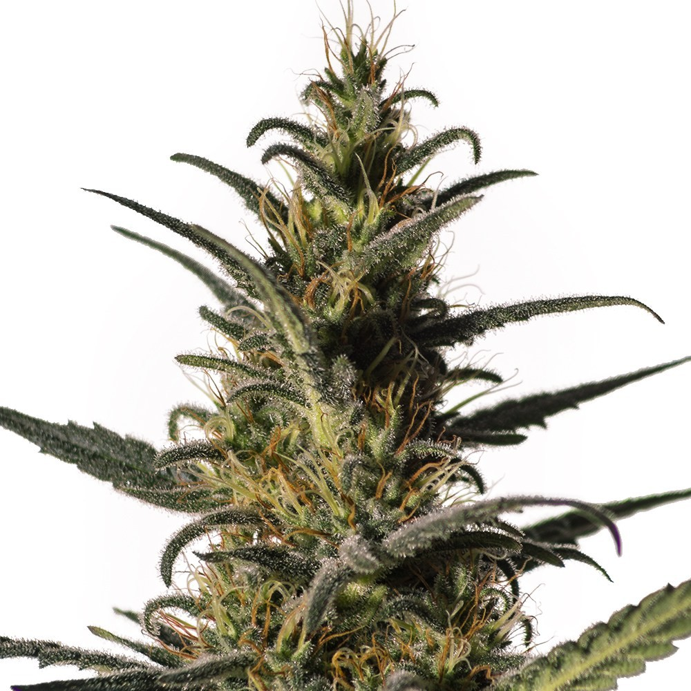 Candida (CD-1) | MM Genetics - CannaMart