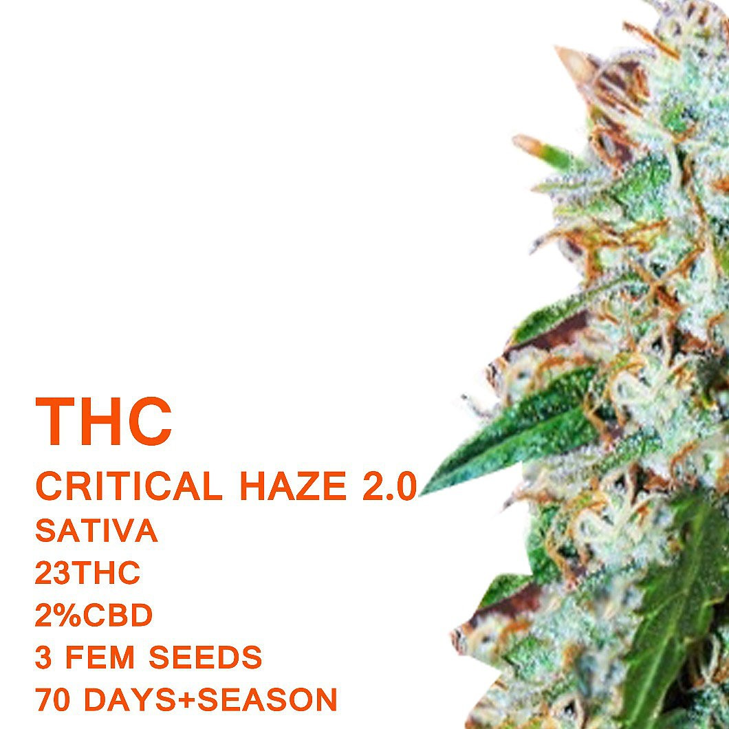 Critical Haze 2.0 | Seedworx Laboratories