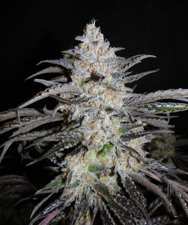Auto 3 Bears OG | Mephisto Genetics - Trophy Seeds