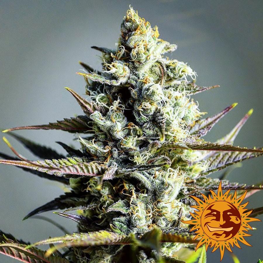 Critical Kush | Barney's Farm - Trophy Seeds