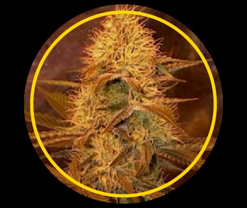 Gold Skunk | Pachamama Seeds
