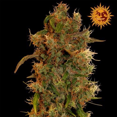 8 Ball Kush | Barney's Farm Seeds - Green Smoke Room