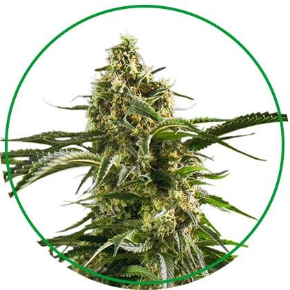 Bob Marley | Pachamama Seeds
