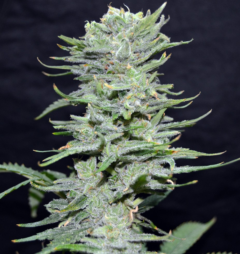 Lemon Pie | Greenbud Seeds - Trophy Seeds