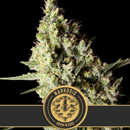 Narkosis | Blimburn Seeds - Trophy Seeds