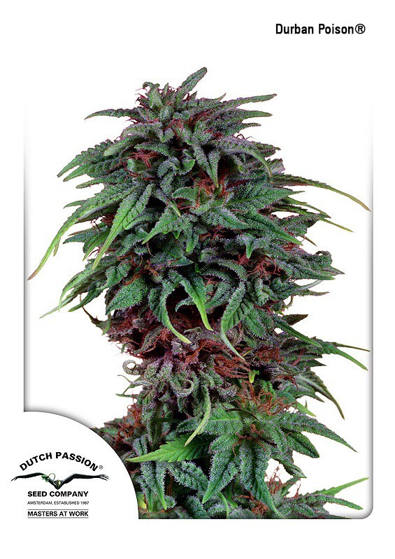 Durban Poison | Dutch Passion - Trophy Seeds