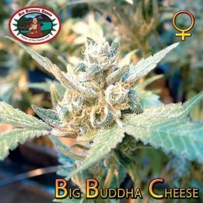 Big Buddha Cheese | Big Buddha Seeds - Trophy Seeds