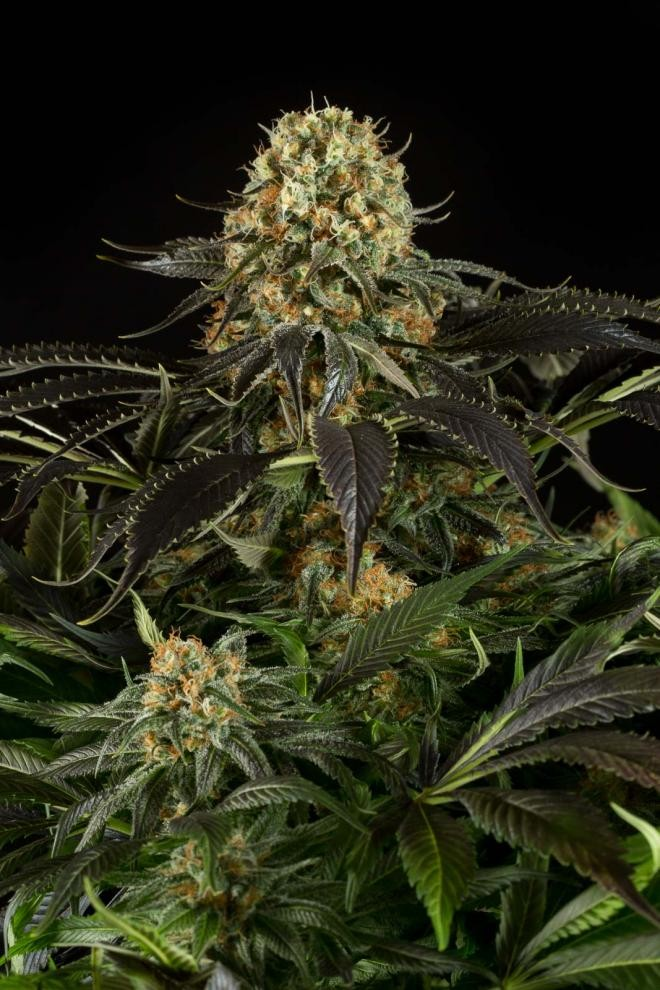 White Siberian | Dinafem Seeds - Seedly