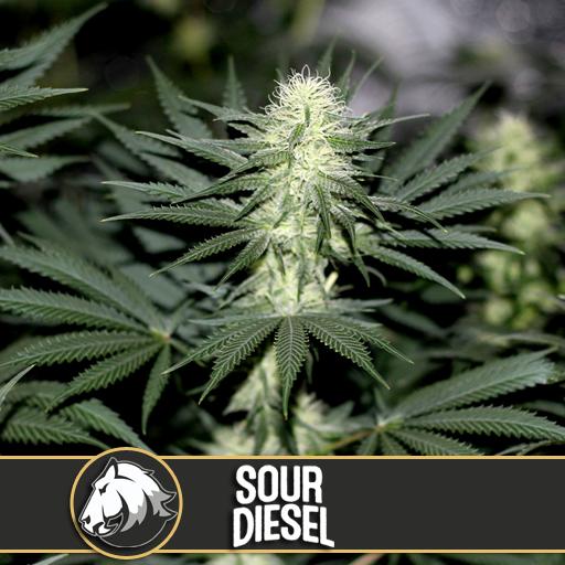 Sour Diesel | Blimburn Seeds - Trophy Seeds
