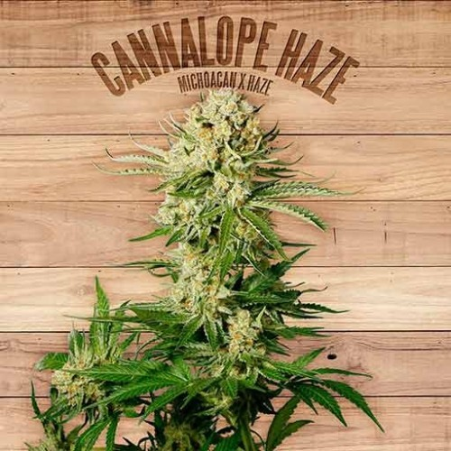 Cannalope Haze | The Plant - Green Smoke Room
