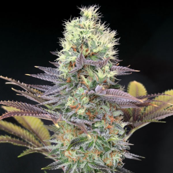 Cali Bay Dream | Garden Of Green - Trophy Seeds