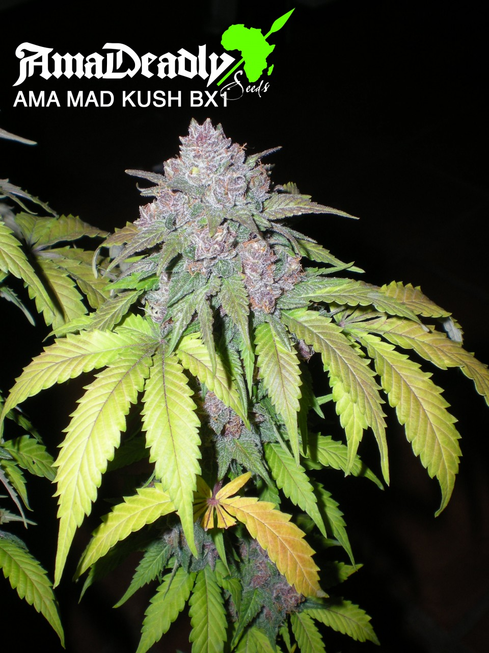 AMA MAD KUSH BX1| AmaDeadly Seeds