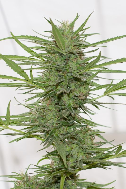 Dr. Greenthumb's Dedoverde Haze Auto | Humboldt Seed Organisation - Seedly