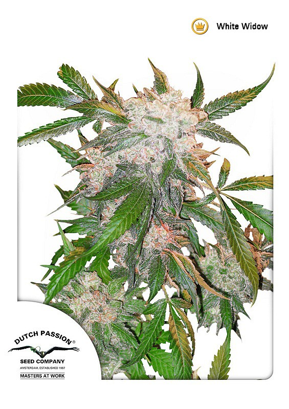 White Widow | Dutch Passion - Trophy Seeds