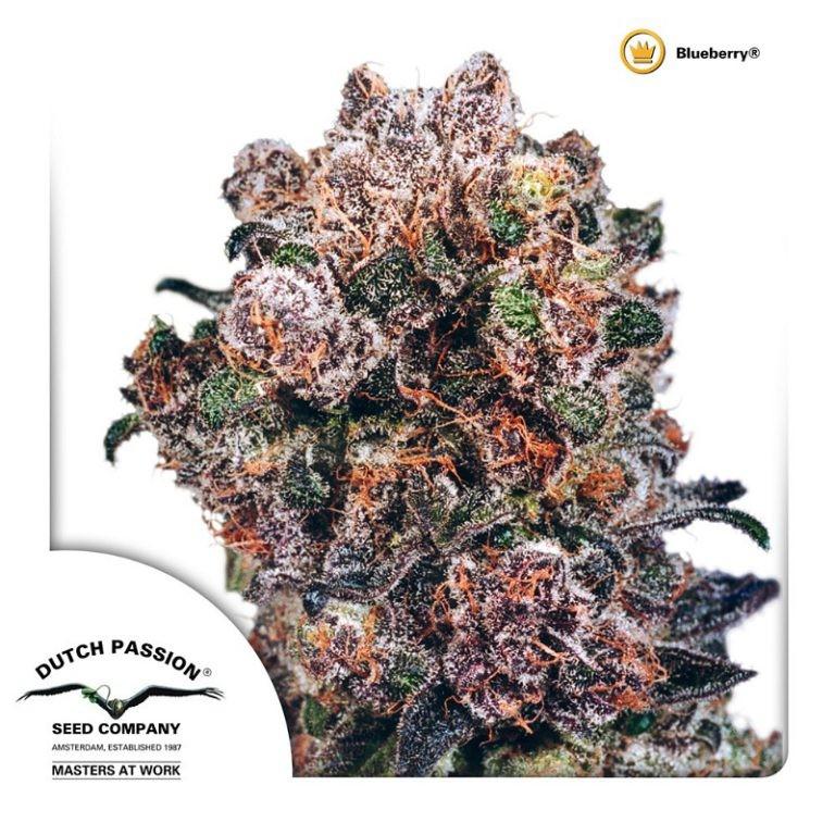 Blueberry | Dutch Passion - Cannabis Genetics