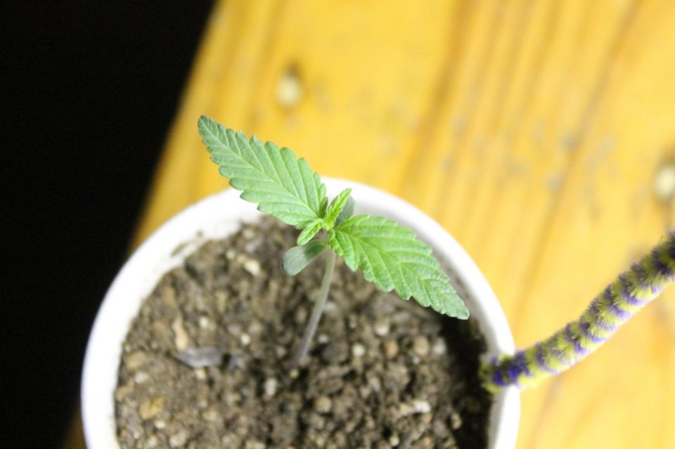 Good morning everyone so b1-b2 are 2 weeks old the other 3 seeds just never sprouted... I need to do a soil mix later and go grab some bananas and I'll be back with an update....